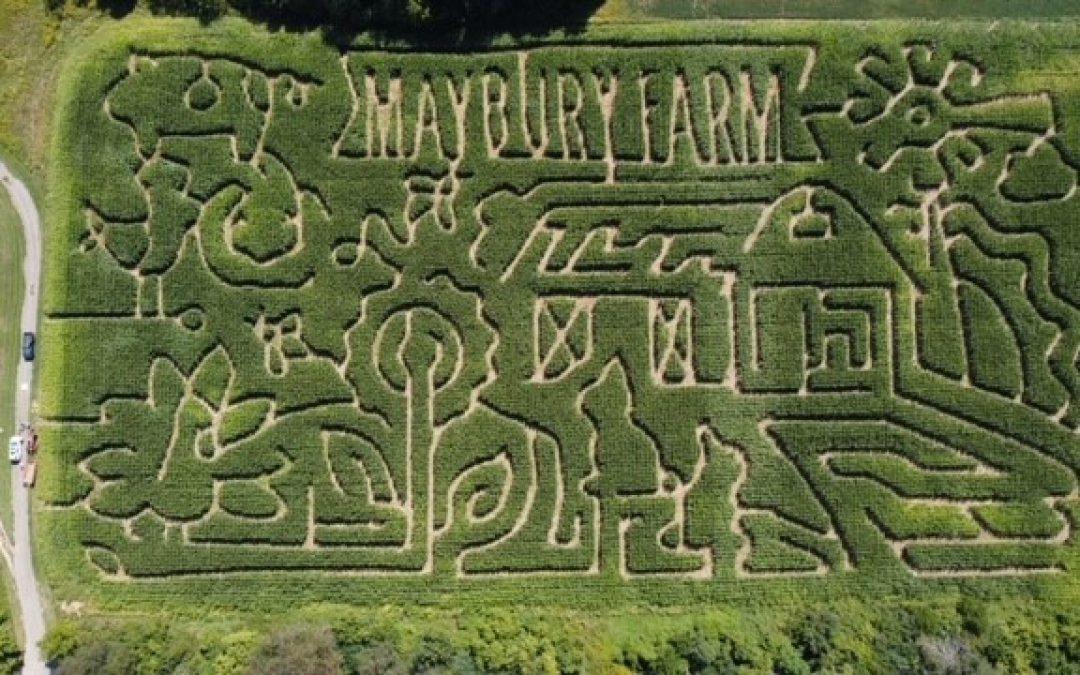 Corn Maze – Maybury Farms